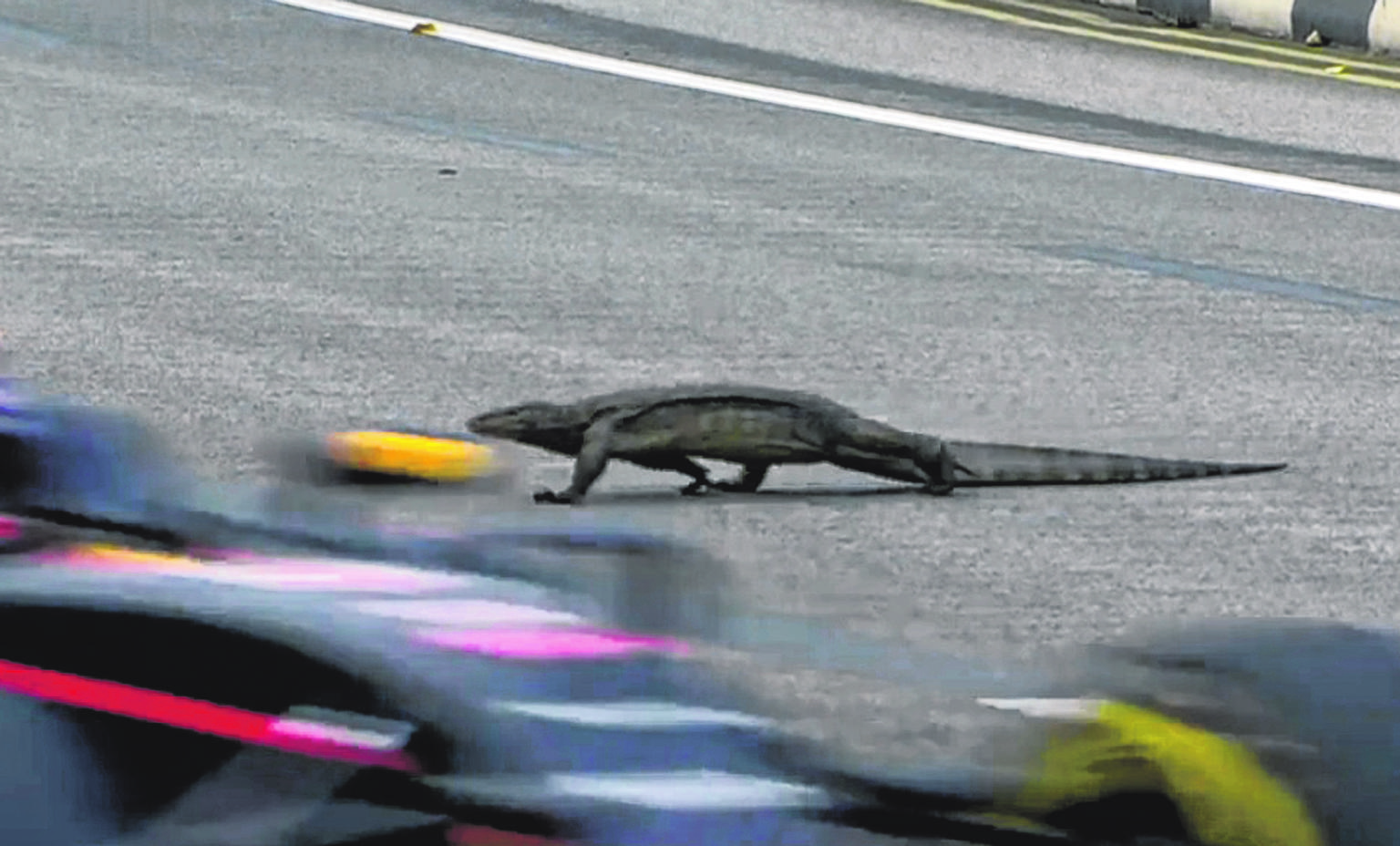 Lizard on F1 track