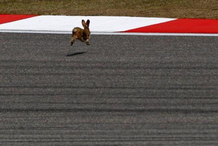 Rabbit on F1 track