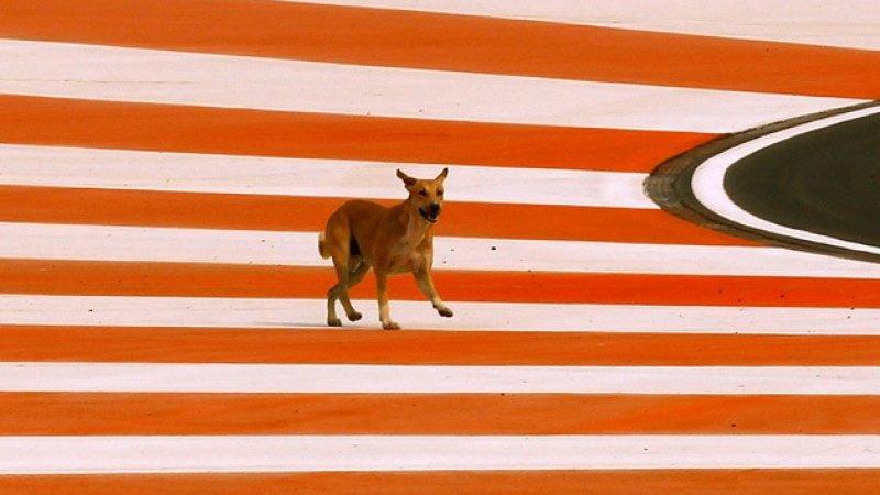 stray dog on F1 track